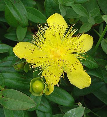 yellow rose of sharon